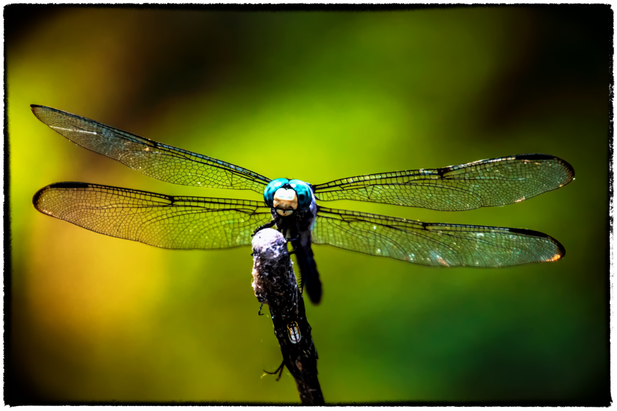 Dragonfly148A8090